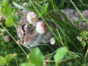 harmaa kissa ruohikossa