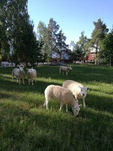 lampaat laitumella Viikissä